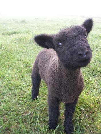 Baby Black Sheep